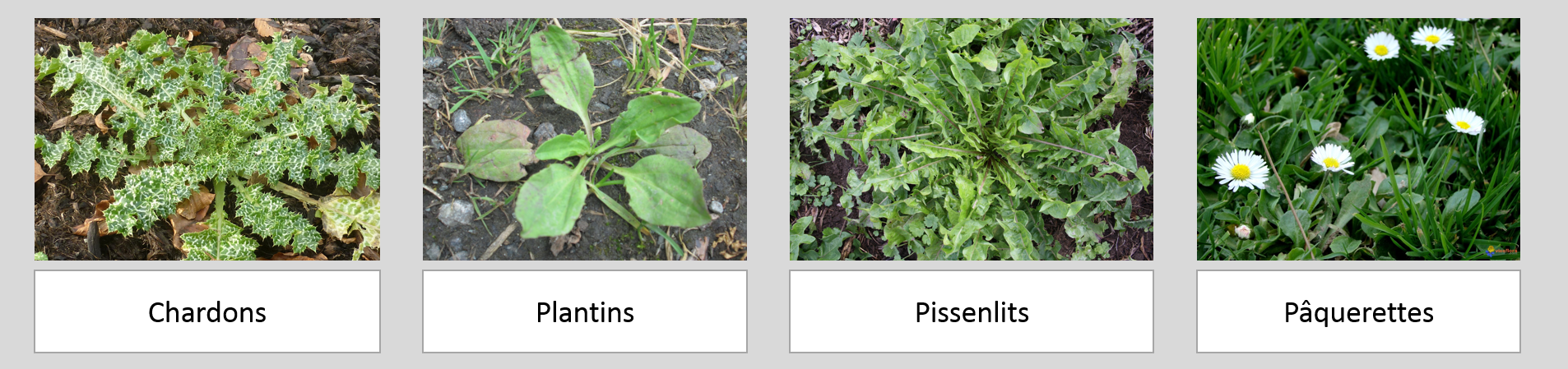 L 39 entretien de votre gazon en automne for Mauvaises herbes du jardin photos