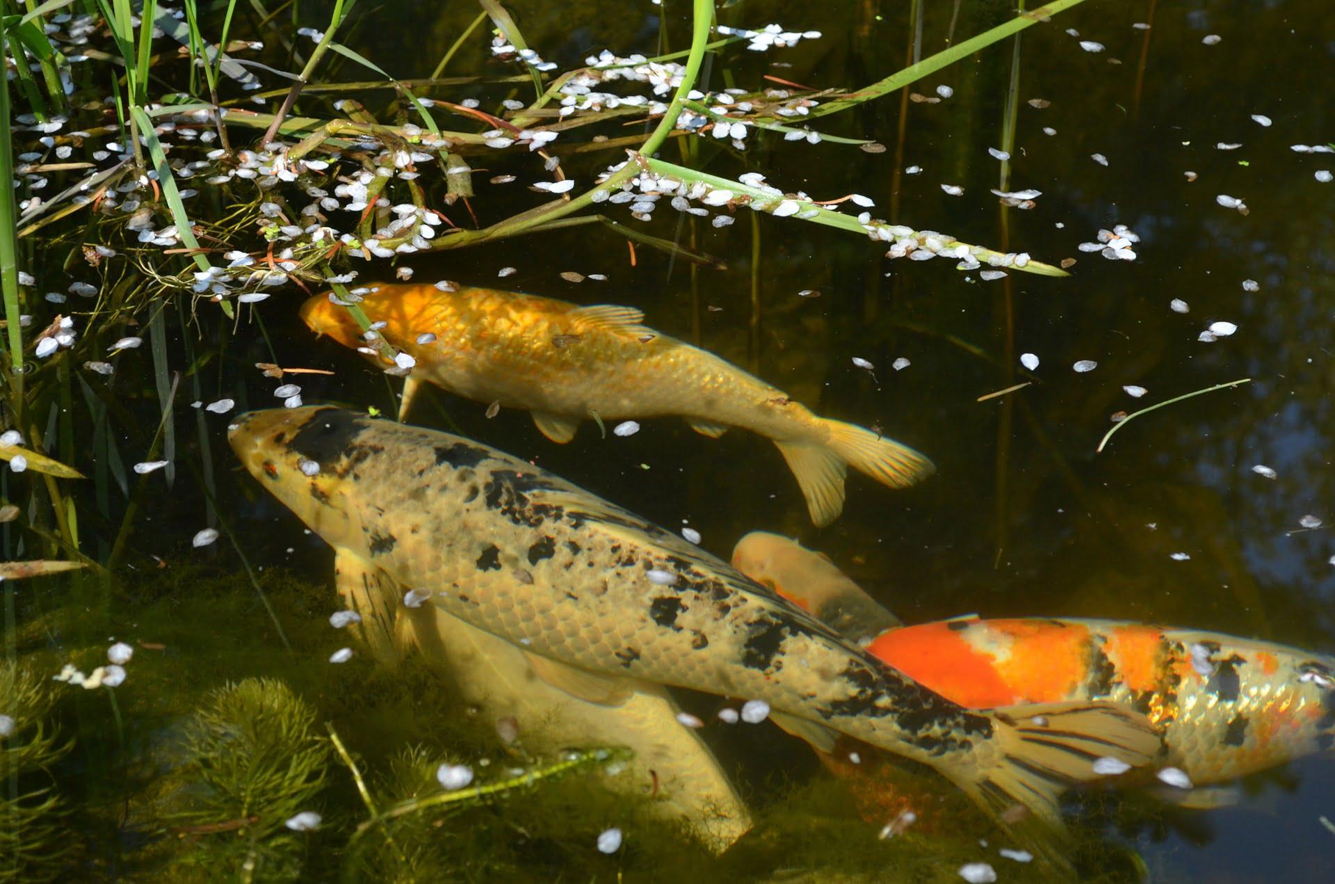 Bassin d ornement avec cascade la rochelle 23 brightwhite - Bassin japonais carpe koi asnieres sur seine ...