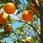 Arbre fruitier en pot pour terrasses & balcons urbains !