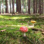Activités : C'est la saison de la cueillette des champignons