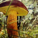 mushroom-1533846